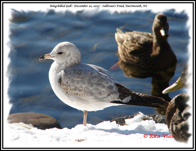 Ring-billed Gull - December 22, 2007 - Sullivan's Pond, Dartmouth, NS