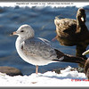 Ring-billed Gull - December 22, 2007 - Sullivan's Pond, Dartmouth, NS
