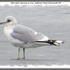 Mew Gull - January 13, 2013 - Sullivan's Pond, Dartmouth, NS