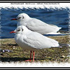 Black-headed Gulls - March 6, 2010 - Sullivan's Pond, Dartmouth, NS