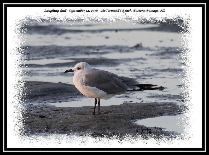Laughing Gull - September 14, 2010 - McCormack's Beach, Eastern Passage, NS