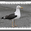 Lesser Black-backed Gull - February 20, 2011 - Lower Sackville, NS