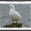 Ivory Gull - January 31, 2009 - Sambro, Halifax County, NS
