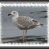 Great Black-backed/Glaucous Hybrid Gull - January 12, 2008 - Sullivan's Pond, Dartmouth, NS