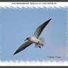 Lesser Black-backed Gull - January 16, 2011 - Lower Sackville, NS