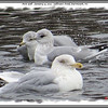 Mew Gull (in center) - January 13, 2013 - Sullivan's Pond, Dartmouth, NS
