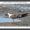 Black Skimmer - September 5, 2010 - McCormack's Beach, Eastern Passage, NS