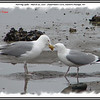 Herring Gulls - March 30, 2010 - Fisherman's Cove, Eastern Passage, NS