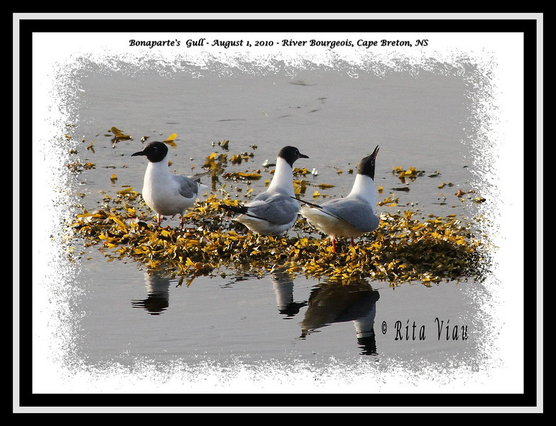 Bonaparte's Gulls - August 1, 2010 - River Bourgeois, Cape Breton, NS