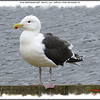 Great Black-backed Gull - March 2, 2013 - Sullivan's Pond, Dartmouth, NS