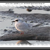 Forster's Tern - September 14, 2010 - McCormack's Beach, Eastern Passage, NS