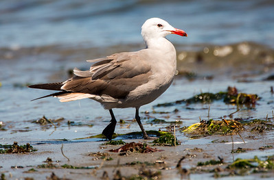 Heermann's Gull in breeding plumage.  Photo taken at Norwegian Point Park in Hansville, Washington.