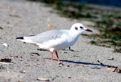 Bonaparte's Gull in non-breeding plumage.  Photo taken at Fort Flagler State Park near Port Townsend, Washington.
