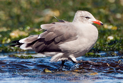 Heermann's Gull in non-breeding plumage.  Photo taken at Point No Point County Park in Hansville, Washington.