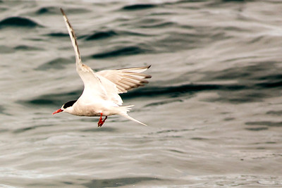 Arctic Tern flying low over the Pacific Ocean offshore from Westport, Washington. Photo taken from a Westport Seabirds trip in August 2019.