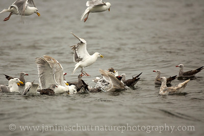 Heermann's Gulls and Glaucous-winged Gulls competing for a forage fish bait ball.  Photo taken at Fort Flagler State Park near Port Townsend, Washington.