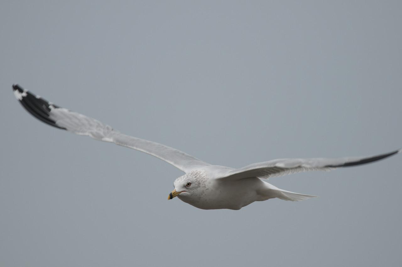 Ring Billed Gull (8)