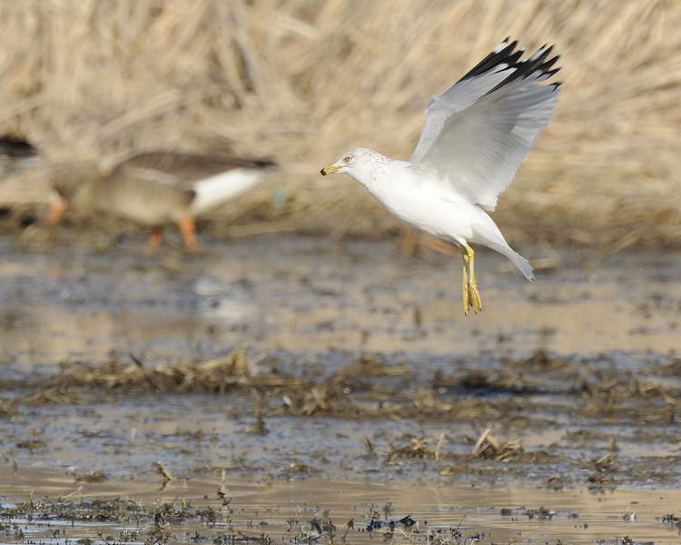 Ring Billed gull (5)