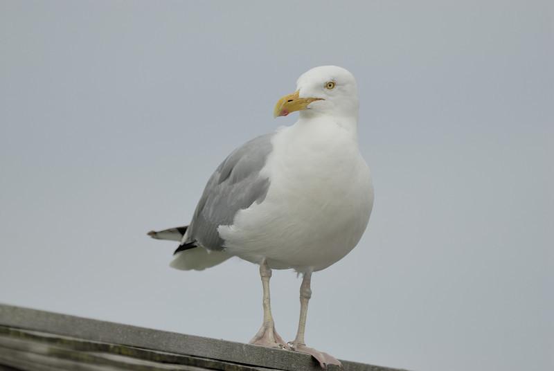 Herring Gull (2)