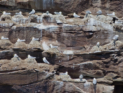 Black-legged Kittiwake nesting colony