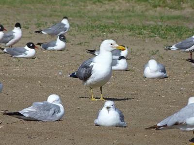 California Gull centre