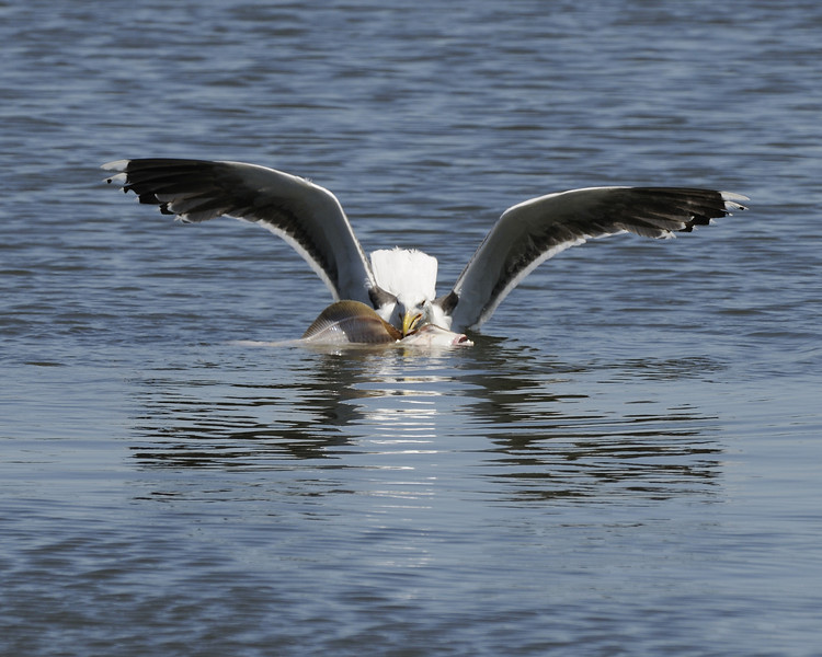 Hering Gull with Flounder - Green Hill Pond
