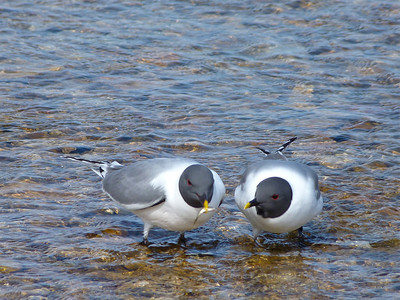 Sabine's Gulls, one with a minnow