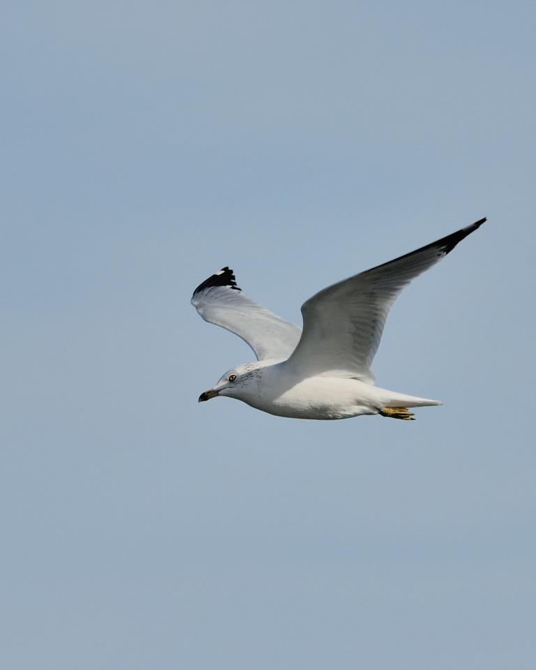 Ring-billed Gull. St. Charles County, Missouri. February 2009.