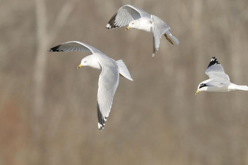 Ring Billed Gull (7)