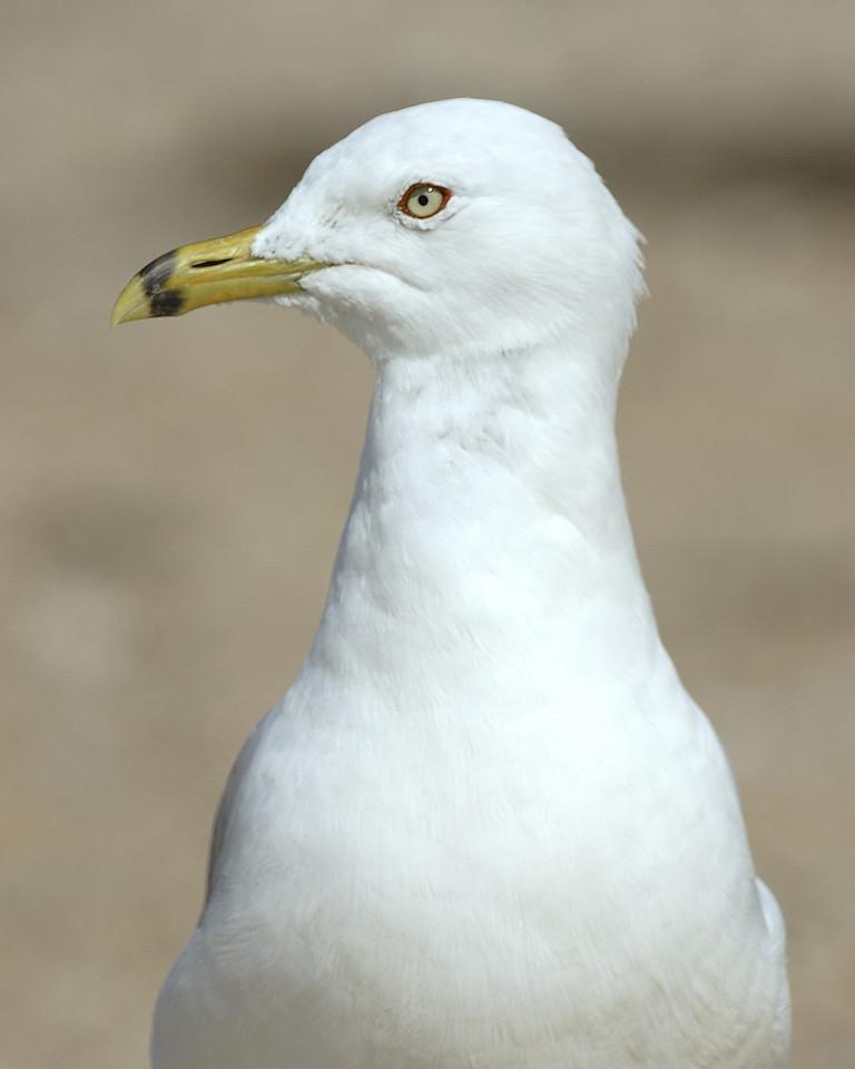 Ring Billed Gull (4)
