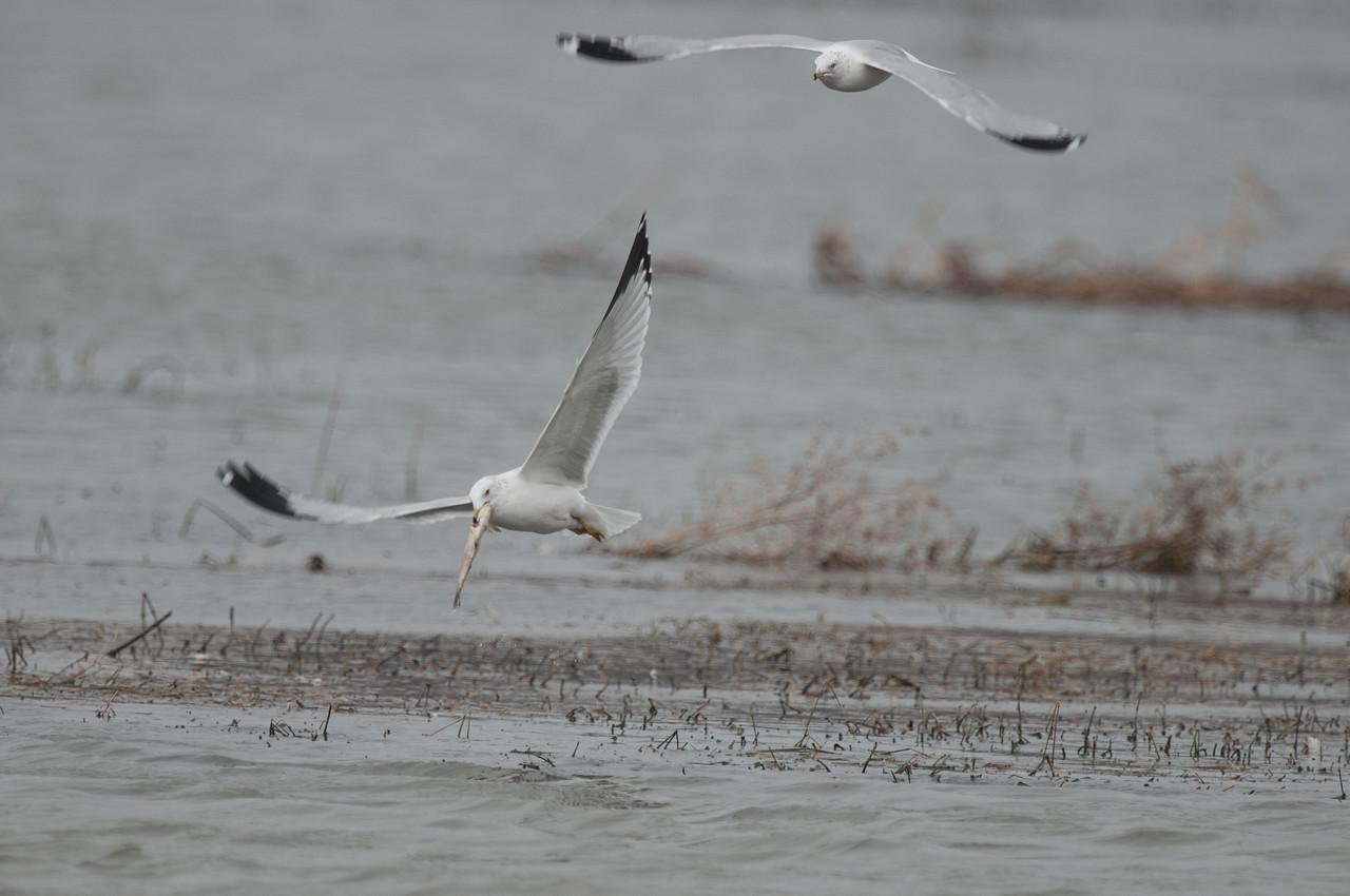 Ring Billed Gull (9)