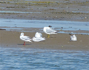 Black-headed Gull, left, and front centre also, with three Ring-billed Gulls.