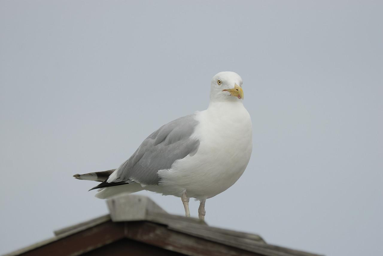 Herring Gull (1)