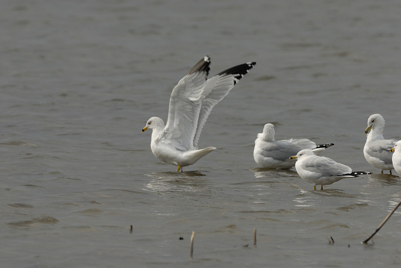 Ring billed Gulls. Eagle Bluffs Conservation Area. McBain, Boone County, Missouri. Winter 2009