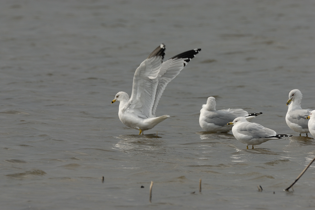 Ring billed Gulls. Eagle Bluffs Conservation Area. McBain, Boone County, Missouri. Winter 2009