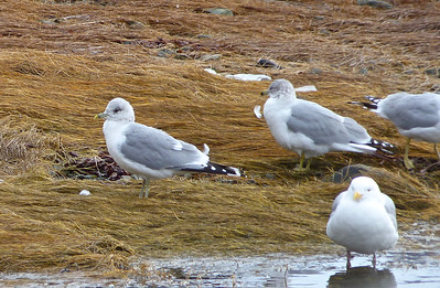Common (Mew) Gull