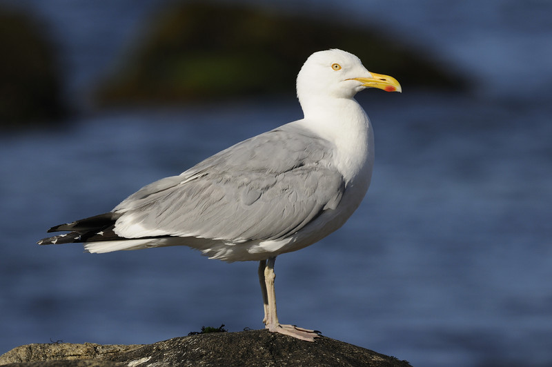 Hering Gull - Napatree Point