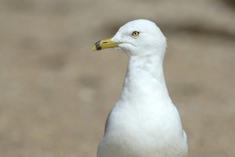 Ring-billed Gull. Charlestown Beach. Charlestown, Rhode Island. July 2009.