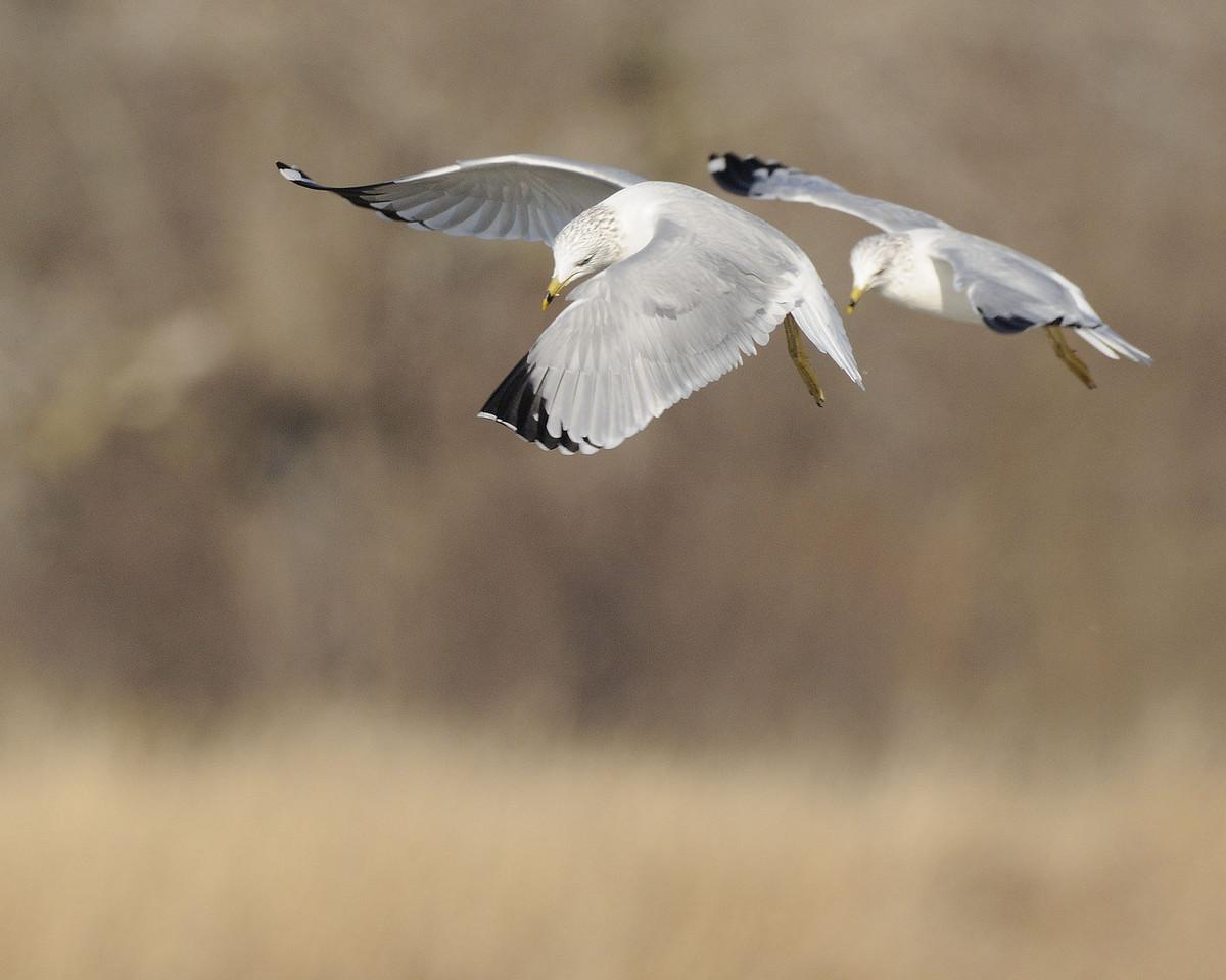 Ring Billed Gull (6)