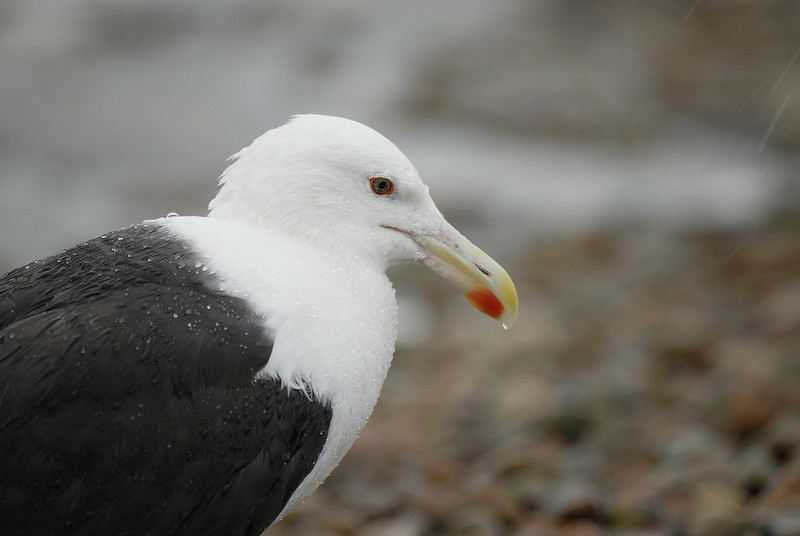 Black-backed Gull. Charlestown, Rhode Island. July 2009.