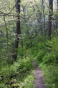 Dogwoods and Trail. Gunpowder Falls State Park, Maryland.