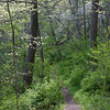Dogwoods and Trail.<br /> Gunpowder Falls State Park, Maryland.