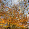 American Beech Tree in Autumn,<br /> Gunpowder Falls State Park,<br /> Hereford, Md.