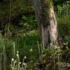 Fiddlehead Ferns<br /> Gunpowder Falls State Park<br /> Hereford, Maryland