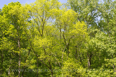 Spring Green Forest Canopy. Gunpowder Falls State Park. Baltimore County, Maryland.