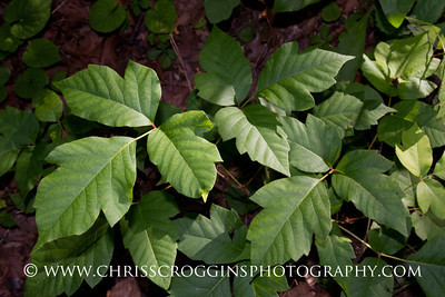 Poison Ivy. Although it's difficult to for us to view poison ivy as a beneficial plant, I recently learned that the small green berries are enjoyed by squirrels and birds, especially chickadees!