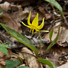 Trout Lily,<br /> Gunpowder Falls State Park<br /> Hereford, Md.
