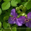 Spiderwort Wildflowers<br />  Gunpowder Falls State Park<br /> Hereford, Maryland