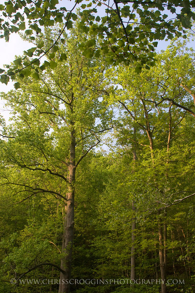 Forest Canopy, Gunpowder Falls State Park, Maryland