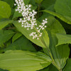 False Solomon's Seal Wildflower